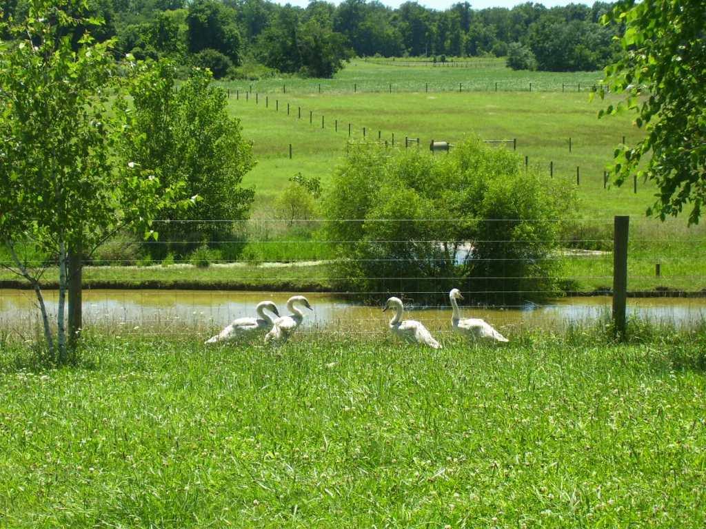 swans 017