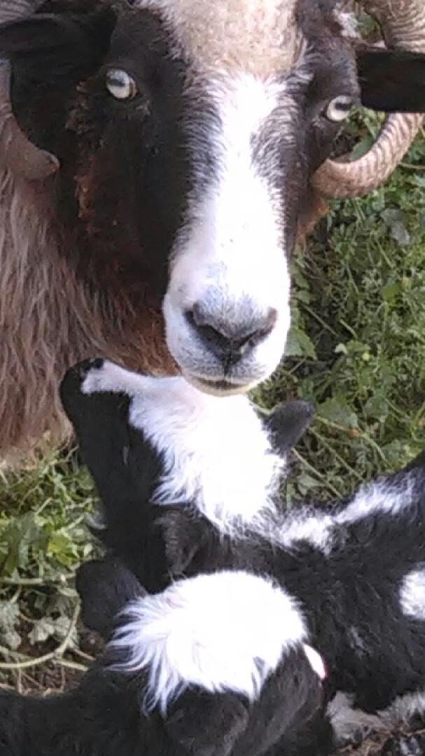 mom&lambs